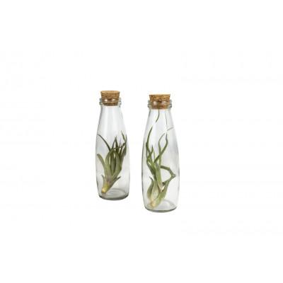 2er-Set Luftpflanzen Tillandsien   Milchflasche Groß