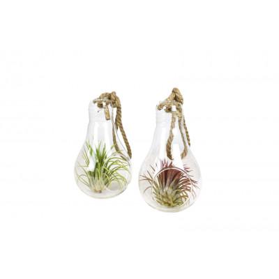 2er-Set Luftpflanzen Tillandsien   Groß