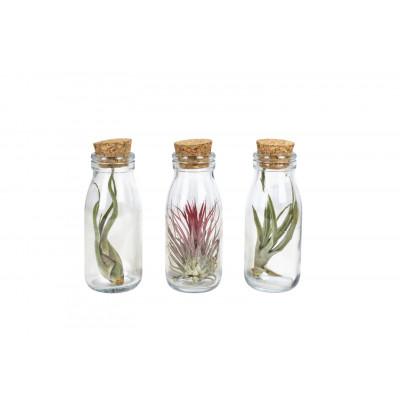 3er-Set Luftpflanzen Tillandsien   Milchflasche Klein