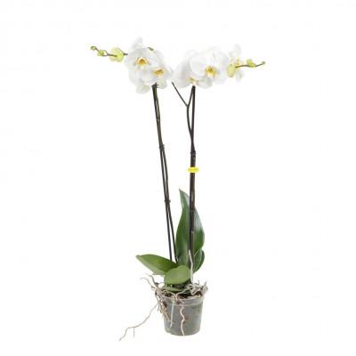 Weiße ockerfarbene Grandi-Flora weiß | 100 cm