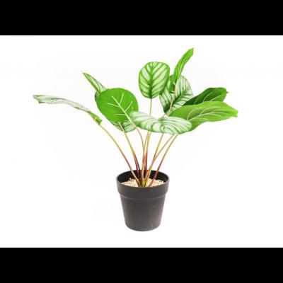HV Pflanze - Calathea   15x40x50cm