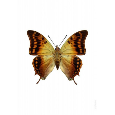 Poster | Charaxes Candiope