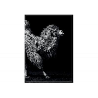 Poster Camel Back