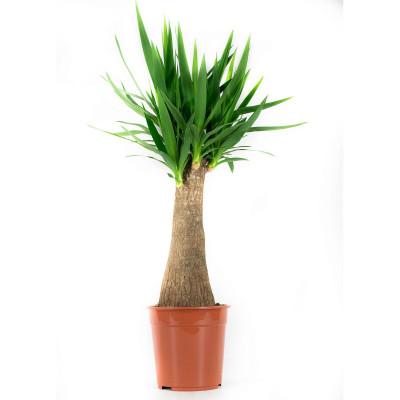 Yucca | 110 cm