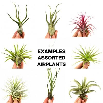 10er-Set Luftpflanzen Tillandsien Überraschungsbox