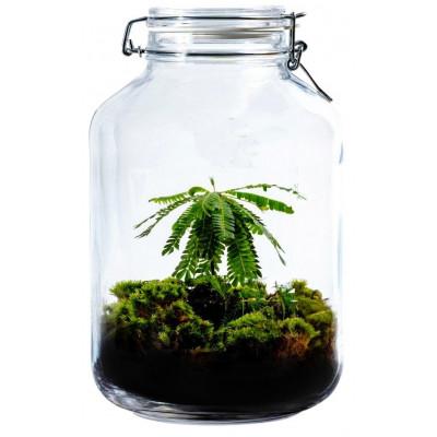 DIY Pflanze Jar 5 L | Biophytum sensitivum