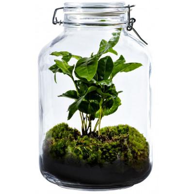 DIY Pflanze Jar 5 L | Coffea arabica