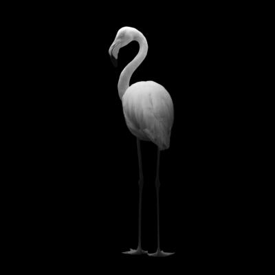Poster | Flamingo II