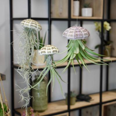 3er-Set Luftpflanzen Tillandsien   Qualle