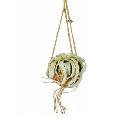 2er-Set Luftpflanzen Tillandsien / Kokodama   Medium