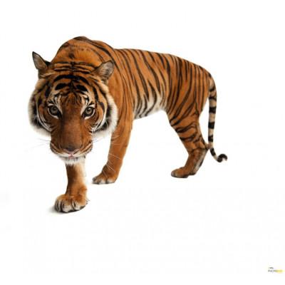 Photomural Tiger | 300 x 280 cm