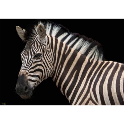 Photomural Zebra | 400 x 280 cm