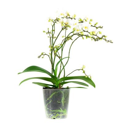 Phalaenopsis Multiflora Weiche Wolke | 50 cm