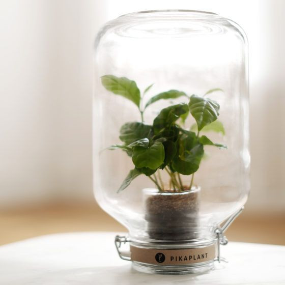 Pikaplant-Glas Coffea