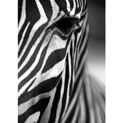Gerahmte Leinwand | Zebra