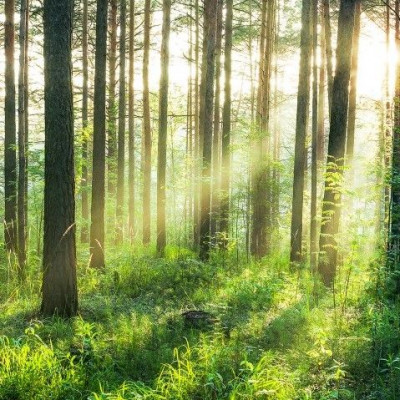 Wall Stickers (8 parts, 366 x 254 cm)   Morning Forest