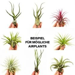 5er-Set Luftpflanzen Tillandsien Überraschungsbox