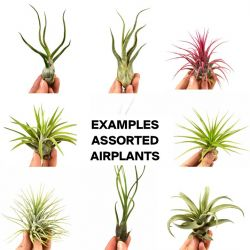 Air plants Tillandsia Ionantha | Set of 3