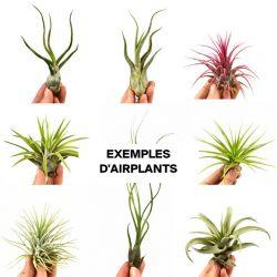 Boîte à Surprises Airplants Tillandsia | Set de 5
