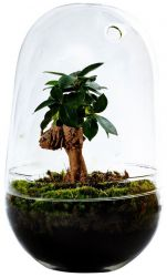 DIY Pflanze Jar Medium | Ficus Ginseng