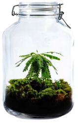 DIY Pflanze Jar 5 L | Biophytum sensitivum
