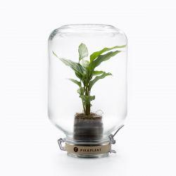 Pikaplant-Glas Calathea Concinna