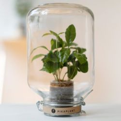Pikaplant Jar Coffea