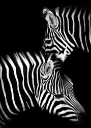 Poster | Zebra