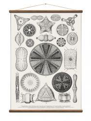 Vintage Poster Diatoms | White