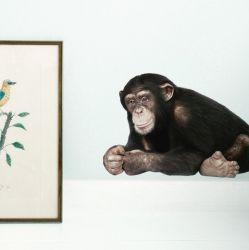 Wandsticker Safari-Freunde | Schimpanse